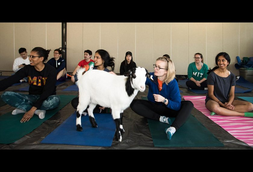 A black and white goat stands in the middle of a yoga class full of people sitting on their mats.