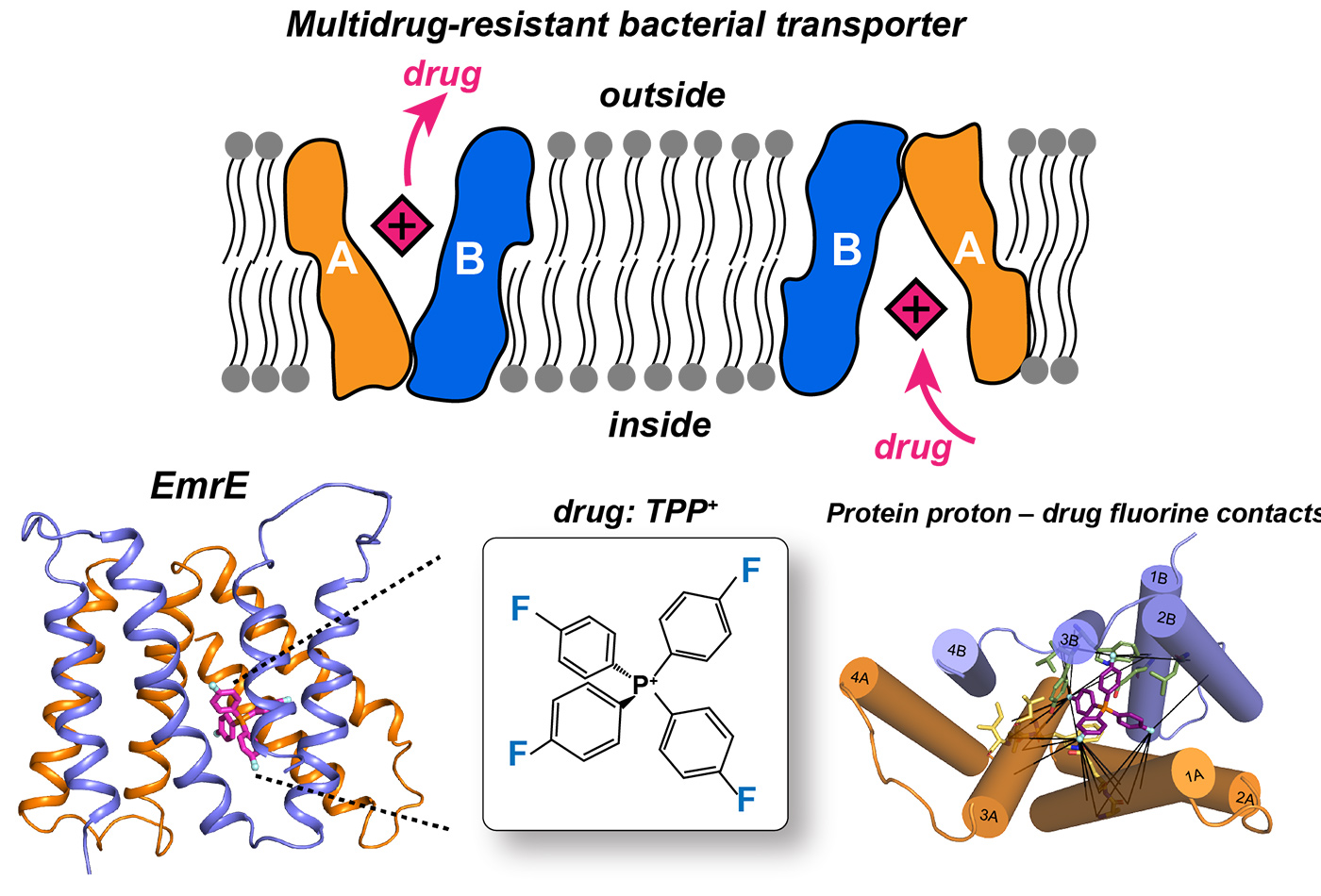 An image depicts the multidrug-resistant bacterial transporter discovered by the Hong Lab's research.